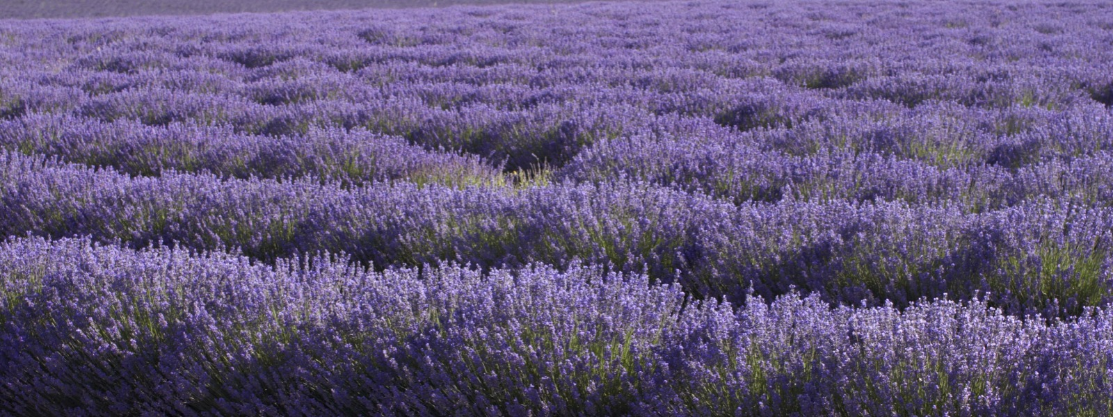 Lavender fields, Provence France